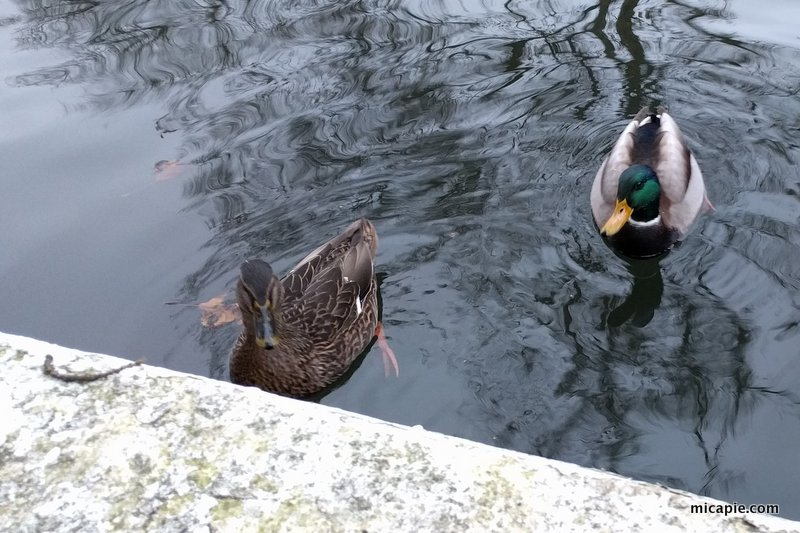 Ducks in Maida Vale canal