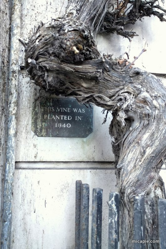 old vine, Richmond Upon Thames